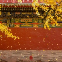 #北京。 #中國 #China #Beijing | #紫禁城 #ForbiddenCity #November2020|#AGallery   #Autumn 2020 Chinese paintings autumn ginkgo trees November golden leaves  fall over the Forbidden city –  Autumn leaves Starry clusters creating a real life #ChinesePainting illustrating….
